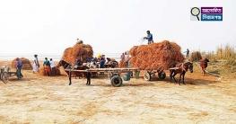 সিরাজগঞ্জের যমুনা নদীতে জেগে উঠেছে হাজার হাজার একর আবাদি জমি