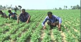সিরাজগঞ্জে বাদাম চাষের বাম্পার ফলন খুশি কৃষকরা