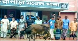 উল্লাপাড়ায় গরুসহ ১০ চোরকে আটক করেছে পুলিশ