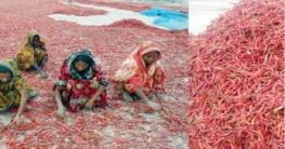 কাজিপুরের চরাঞ্চলে ১৫কোটি টাকার মরিচ বেচাকেনার সম্ভাবনা