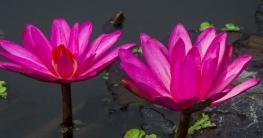 চলনবিলের সৌন্দর্য লাল শাপলা