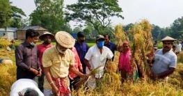 উল্লাপাড়ায় কৃষকের পাকাধান কেটে দিলেন কৃষকলীগ