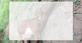 কামারখন্দে বজ্রপাতে এক ব্যবসায়ী ও গরুর মৃত্যু