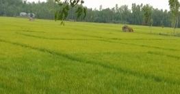 চৌহালীতে বোরো ধানের বাম্পার ফলনের সম্ভাবনা