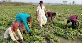 সিরাজগঞ্জে আগাম জাতের কেশর চাষে লাভবান কৃষকরা
