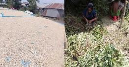 শাহজাদপুরে যমুনার চরে বাদামের ভালো ফলন