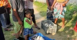 চৌহালীতে নিষেধাজ্ঞা অমান্য করে চলছে মা ইলিশ শিকার
