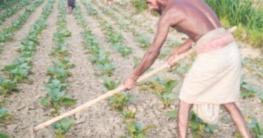 উল্লাপাড়ায় শীতকালীন সবজি আবাদে ব্যস্ত কৃষক